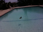 Duck in our pool