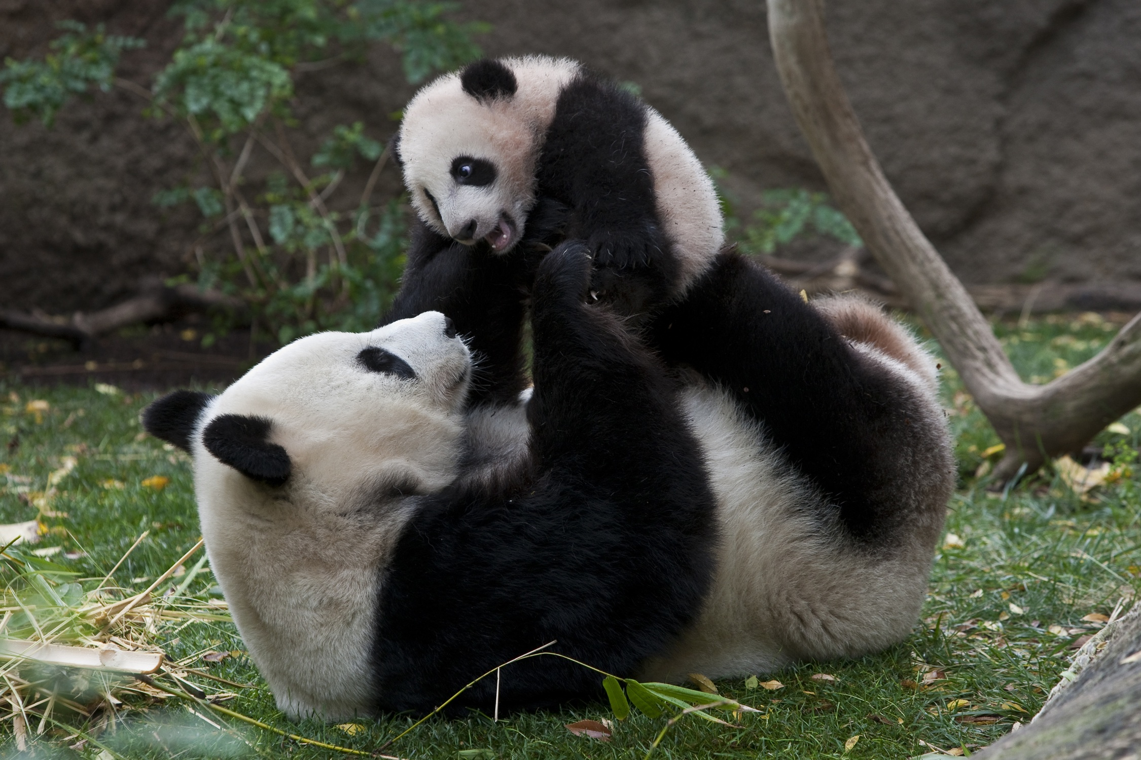 the giant panda Giant panda facts for kids check out our giant panda facts for kids learn about  panda cubs, where pandas live, what they eat, how much they weigh and much.